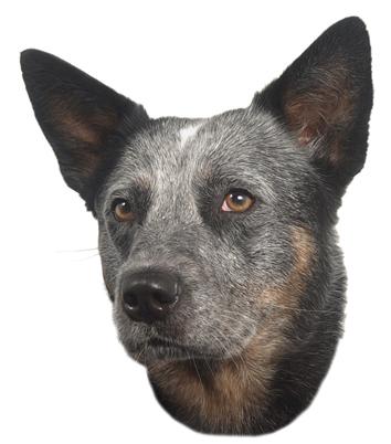 Australský honácký pes samolepka 2ks