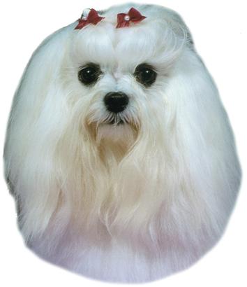 Maltézký psík samolepka 2ks