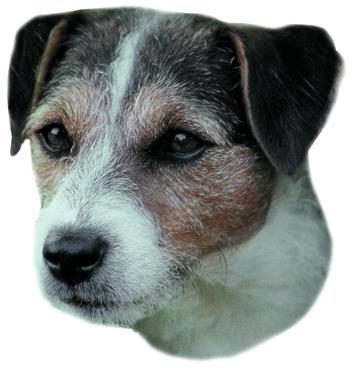 Jack Russel terier hrubosrstý samolepka 2ks